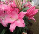 ピンク2品種目はクロッサーです。