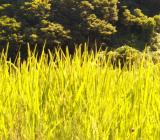 標高400メートルの稲たち。順調に穂を実らせています!