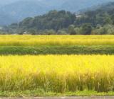 今年も大自然の恵み一杯つまったお米になりました!東山ファームです!