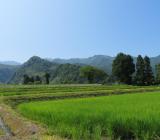 眩しい緑の稲たち、元気です!みなさまお元気ですか?