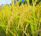 黄金色の自慢のお米、順調に収穫が進んでいます。本当においしい!