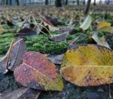 ルレクチエの落葉