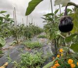 台風で潰れたナス畑を補修しています。