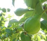 ルレクチェの果実が順調に大きくなっています