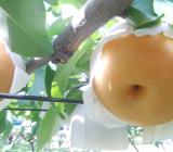 豊水梨の収穫が間近です
