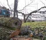 古い幸水の木