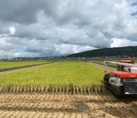 コシヒカリの稲刈りが始まりました。
