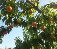 いよいよ今年最後の桃「白根白桃」は9月14日頃から