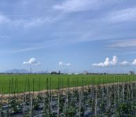 いよいよ長岡梨ナスの収穫が始まります。