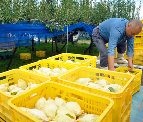 ル・レクチェ予約受付スタート!ヤマヨ果樹園の収穫作業にお邪魔してきました