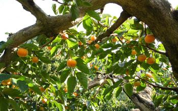 10月下旬から収穫を迎える八珍柿