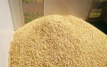脱穀した大量の稲穂