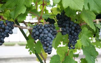 豪雪地帯で育つ葡萄