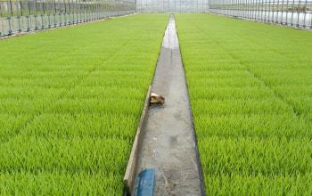 種子選別を行うことで健康な大きな稲に