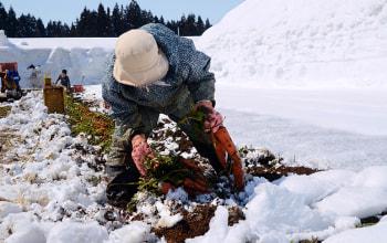 雪下にんじん収穫の様子