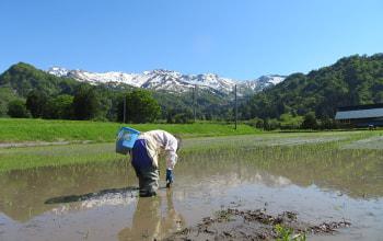 糸魚川の豊かな自然の中で妥協のない米作りを行う
