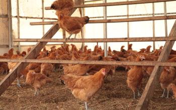 鶏が鶏舎の中を自由に歩き回る