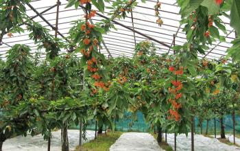 高砂と佐藤錦を栽培