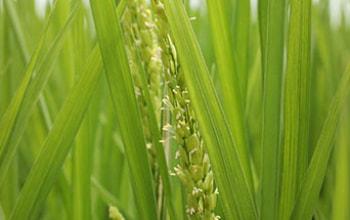 湧き水を利用した水々しい稲