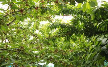 50本以上のさくらんぼの木が連なる