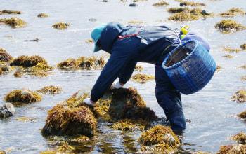 日本海で天然のフノリを採取 (画像は下北半島での様子)
