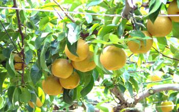 梨の生産量は県内トップクラス