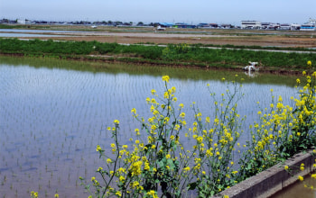 季節になれば菜の花も。豊かな自然の力が美味しいお米を育んでくれる