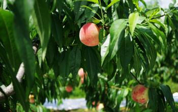肥沃な土壌と太陽の恵みで甘い桃に育ちます