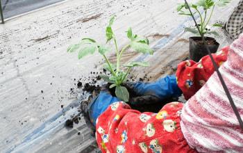 スイカの定植。収穫の時期を考え数回に分けて行います