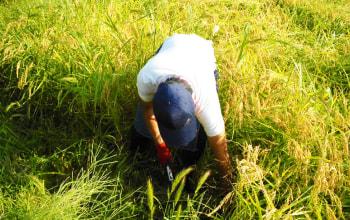 米を見極める「目」が違う。米の成長具合・状態を見ながら大切に育て上げる