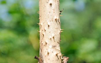 タラの木と言えば棘が特徴