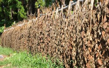 収穫したタラの葉に含まれるアクを天日干しでしっかりと抜く