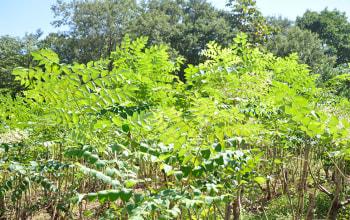 タラの木は背丈2~4メートル。やや小柄な樹木