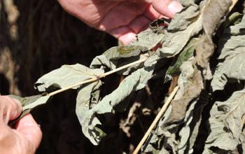 こちらはまだアクが残る葉。茶色で乾燥しきったものが厳選タラの葉茶となる