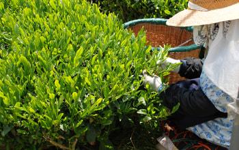 丁寧にお茶の葉を手摘み