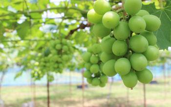 ぶどうの栽培も手掛ける果樹のプロ