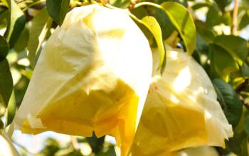 袋をかけて育てることで、害虫や病気が付かないように予防