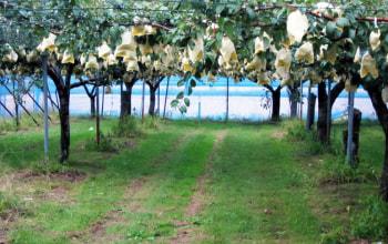栽培が難しいル・レクチェ。一つ一つ袋がけしています。これも大きいです。