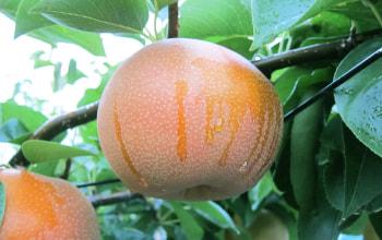 色が濃く、とにかく大きい!重みで枝が下がっちゃってます。日本梨は袋をかけません。