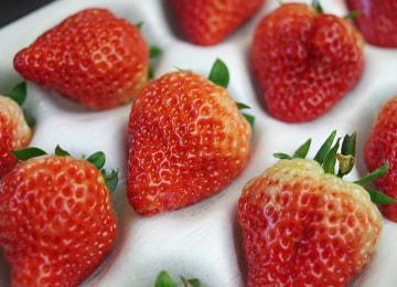 摘んだばかりの苺をお届けします