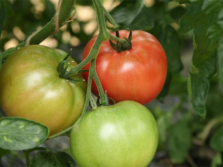完熟一歩手前で収穫!栄養価たっぷり「にごりかわトマト」!