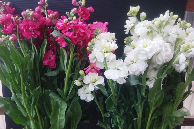 ストック(切り花) – リキカゼン