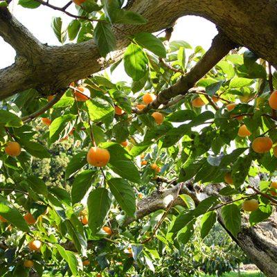 ごま八珍柿(種なし)
