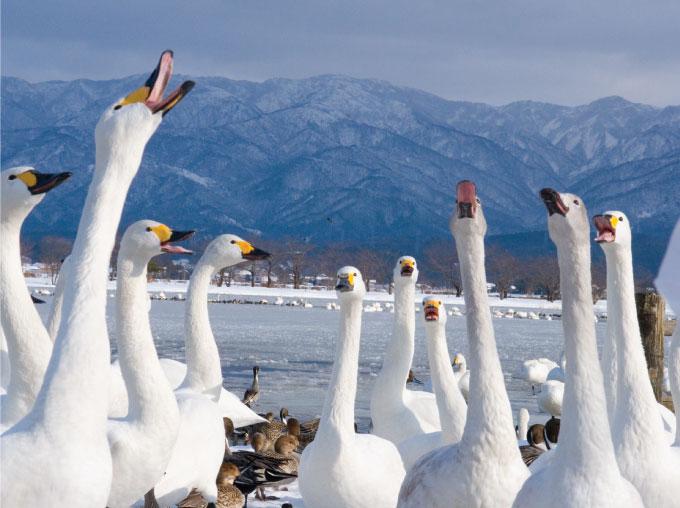 冬の風物詩、瓢湖の白鳥