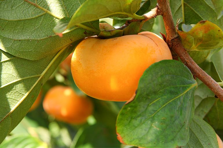 地元で長年愛されてきた越王八珍柿を直接お取り寄せ!