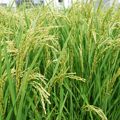 74種類の豊富なミネラルが稲を丈夫にします
