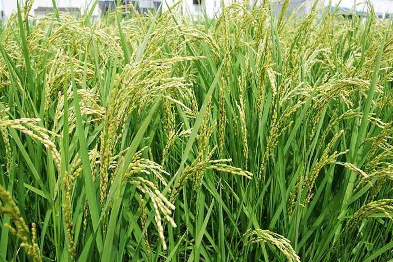 米作りの基本となる土壌改善