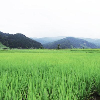 糸魚川市の豊かな自然の中で栽培しました