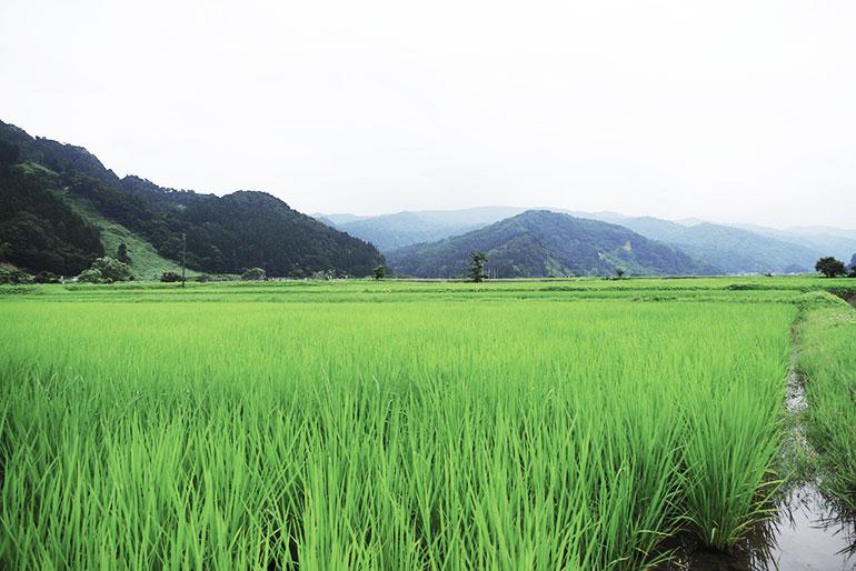 自然豊かな糸魚川市にて育った能生米