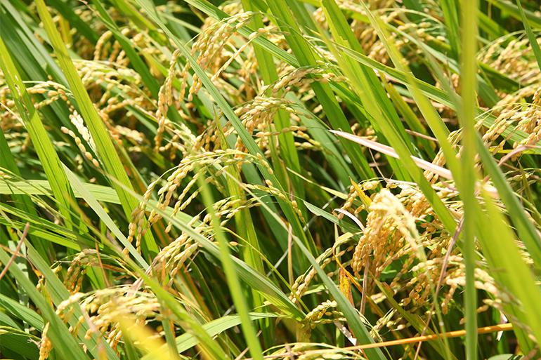 もち米の最高品種!新潟県産こがねもち